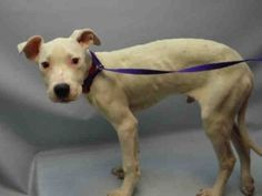 SUPER URGENT  01/17/16 ROSCOE – **PUPPY** A1063183  **NEEDS FOLLOW UP VET CARE ASAP**  MALE, WHITE, AM PIT BULL TER MIX, 4 mos OWNER SUR – EVALUATE, NO HOLD Reason NO TIME Intake condition INJ MINOR Intake Date 01/17/2016, From NY 11413, DueOut Date 01/17/2016, I came in with GYPSY