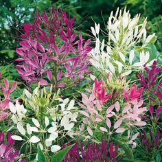 Spinnenpflanze Colour Fountain-Mischung - Blumensamen