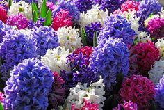 C'est maintenant qu'il faut penser aux bulbes à floraison printanière qui viendront vous annoncer la fin de l'hiver par leurs couleurs chatoyantes. En effet, ils doivent être installés en automne (de Septembre à Novembre en général) pour pouvoir développer leurs racines et être bien implantés au printemps afin de vous offrir une floraison remarquable dès le début des beaux jours