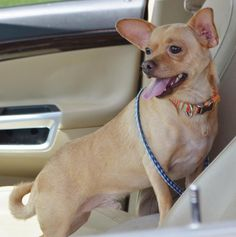 Howdy! Caught you looking! My name is Sammy! Am I not gorgeous? I am an 12 pound cuddle bear from Texas that loves to give kisses and play! I am 2 years old. I love going for walks and walk good on a leash. I am happy playing or hang out at the...