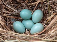 Photographie de Mike R. (Wikimedia Commons) : oeufs d'Étourneau sansonnet (Sturnus vulgaris).#ornithologie #oiseaux #pâques #nature #oeufs