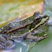 How To Attract Frogs To Your Garden Pond And Keep Them There