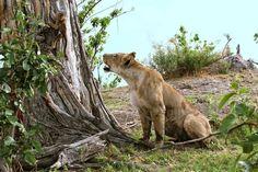 lion kill baboon