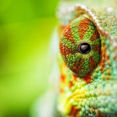 animals, lizard, chameleons, nature, animal photography, color, green, insect, eyes