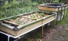 'Farm in a Barrel: Raise fish and grow your own organic vegetables | World News |Axisoflogic.com
