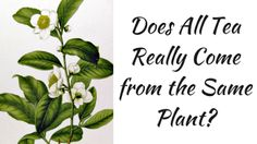 Tea For Me Please: Does All Tea Really Come from the Same Plant?