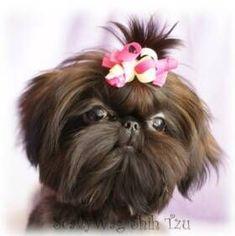 Imperial Shih Tzu and Chinese Imperial Dog Breeder #shihtzu