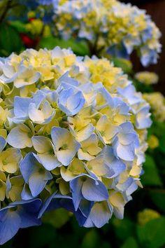 Resultado de imagem para blue and yellow hydrangeas