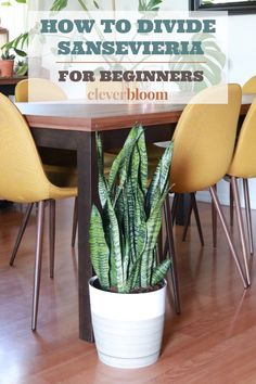 How To Divide Sansevieria For Beginers Snake Plant Propagation, Short Plants, Plant Crafts, House Plant Care, Plant Decor, Hydroponics, Indoor Plants, Indoor Gardening, Houseplants