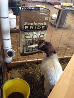Goat hay feeders made out of feed bags -- good for individual sick or kidding pens