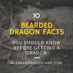 Definitely read before getting a bearded dragon!  http://beardeddragontank.com/10-bearded-dragon-facts-you-must-know-before-getting-a-beardie #beardeddragon #beardeddragoncare #reptiles #reptilecare