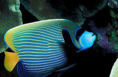 「tropical fish」的圖片搜尋結果