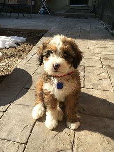 Australian Bernedoodle, I know she looks like a stuffed animal! Cute Puppies, Cute Dogs, Dogs And Puppies, Doggies, Cute Baby Animals, Animals And Pets, Doodle Dog, Poodle Mix, Cute Creatures