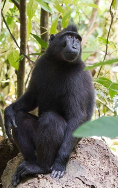 Sulawesi Crested Macaque, Sulawesi, Tangkoko