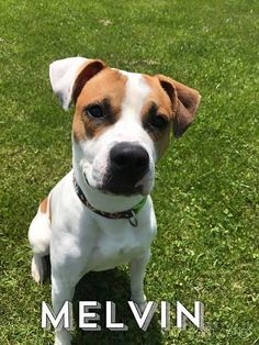 ADOPTED - Melvin - URGENT - Richland County Dog Warden in Mansfield, Ohio - ADOPT OR FOSTER - 2 year old Male Pit Bull Terrier Mix - at the shelter since April 10, 2017 - I am a super sweet guy. I know how to sit and probably other commands too. I was tested with other dogs and I did very well. I am playful, energetic, and a lot of fun. Hurry in to meet me. I will be a great addition to some lucky family.