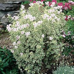 Geranium 'Prince Rupert Variegated' (Pelargonium hybrid) its lemon scent and light pink blossoms which appear in spring, set this cultivar apart in a class of its own.