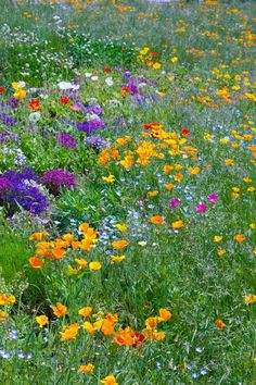 Orange California poppies other favorites in rough grass.