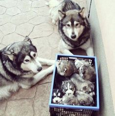 """We made these."" Proud parents and a basket of pure love! #siberianhusky"