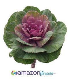 purple ornamental kale - WOW.com - Image Results