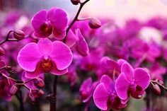 Purple phalaenopsis orchids. Supposedly, they resemble moths in flight. For this reason, the species are sometimes called Moth orchids.