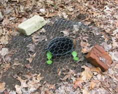 Newly sprouted yellow squash seedlings are protected birds under a square of chicken wire. A buried flower pot allows direct watering straig...