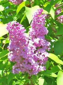 How to make lilac perfume (can be made with any flower)