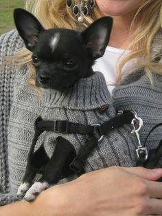 He is cute Chihuahua Puppies, Teacup Chihuahua, Cute Puppies, Cute Dogs, Dogs And Puppies, Doggies, Cute Animal Pictures, Dog Pictures, Dog Photos
