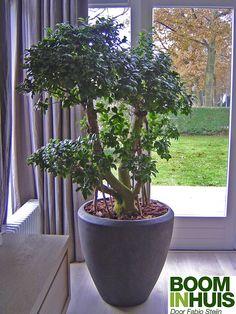 Grote plant in woonkamer  Hoeft niet deze te zijn maar moet wel in bestaande geel-zwarte rieten mand