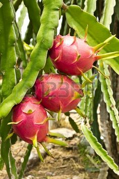 Dragon fruitboom