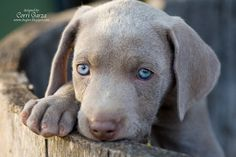 Weimaraner Puppy! I will own one of these love bugs someday!!!