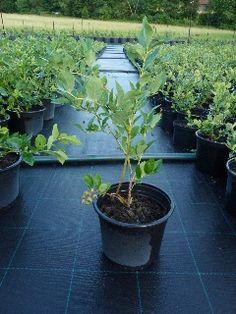 """Kanadská čučoriedka """"BLUECROP"""", Koreninová a liečivá záhrada Ale, Plants, Ale Beer, Flora, Plant, Ales, Planting, Beer"""