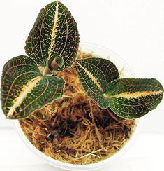 Драгоценные орхидеи - аристократы растительного мира