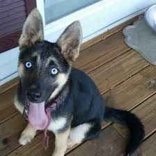 The puppy has an exceptionally quiet and amazingly delicate disposition, a great many people fear it in light of its enormous size and shape yet as a general rule it is an extremely carefree pooch Husky Mix, Kinds Of Dogs, Dog Owners, Dog Breeds, Delicate, Puppies, Shape, People, Cubs