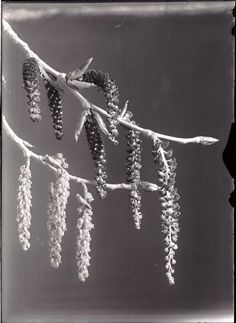 Cottonwood flowers. 1906. UHPC, University Archive, Archives and Special Collections, CSU, Fort Collins, CO