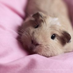This artist's guinea pig is so PRETTY