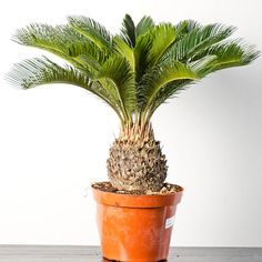 Sago Palm | 17 Incredible Houseplants You Need Right Now
