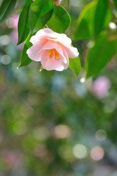 Beautiful Rose Flowers, Flowers Nature, Spring Flowers, Flower Places, Flowering Shrubs, Flower Quotes, Garden Projects, Botanical Gardens, Flower Art