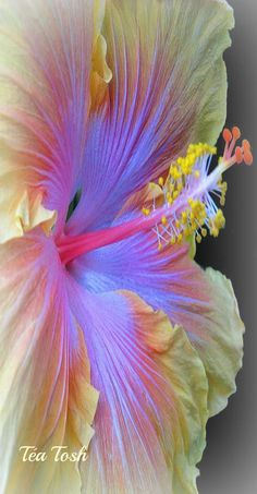 This gorgeous flower is The Path hibiscus. Hibiscus' are my favorite flowers!
