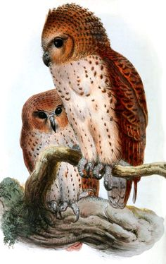 "'Scotopelia peli, Pel's fishing owl' by Joseph Wolf (1859)... ""found throughout most of sub-Saharan Africa. It is one of the largest owls in the world."
