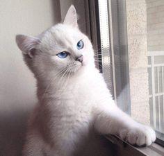Petit chat blanc