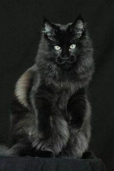 maine coon macho com pedigree black solid