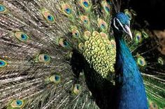 A picture of a peacock, a prime example of sexual selection, and one spoken about in Darwin's work.
