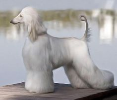 AFGHAN Hound white nice top line and rear angulation Afghan Hound Puppy, Hound Dog, Photo Animaliere, Most Beautiful Dogs, American Animals, Tier Fotos, Whippet, Dog Grooming, Grooming Salon