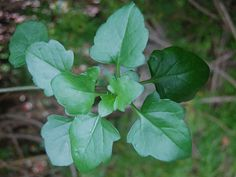 Senecio angulatus - Climbing Groundsel, Creeping Groundsel, Cape Ivy