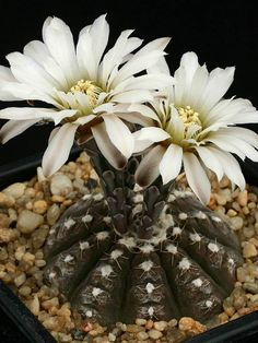 The top source for pictures, facts and information about cacti and succulents. Gymnocalycium ragonesei (scientific name, common names, synonyms, scientific classification, plant description, origins, growing information, uses and advice where to buy online).