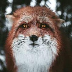 Photo by Daniel Weissenhorn - wildgeography - fox - renard - nature Nature Animals, Animals And Pets, Baby Animals, Cute Animals, Nature Nature, Wildlife Nature, Beautiful Creatures, Animals Beautiful, Wildlife Fotografie