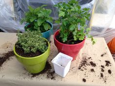 10 of the Easiest Herbs to Grow Indoors  Herbs Potted Up  Nothing beats cooking with fresh herbs. The flavour cannot be compared to  dry herbs, unless of course you dried them yourself! With a little effort  and a few simple supplies, no matter where you live, whether it is an  apartment or house, you can have an indoor herb garden year round! Place  them in a sunny window of you kitchen and enjoy fresh herbs every day! Here is a list of the 10 most popular herbs, their characteristics and…