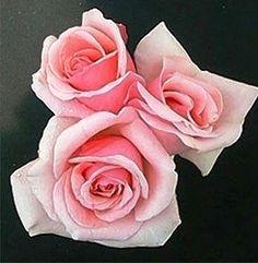 the peggy lee rose | GardenLife :: PEGGY LEE - Hybrid Tea Rose