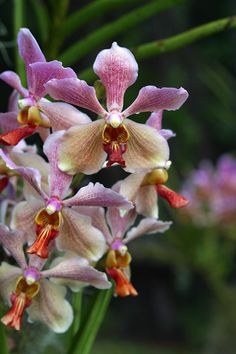Vanda orchid | Flickr - Photo Sharing!
