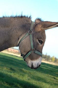Burro | Donkey - I've always wanted one of these - for more from Mexico, visit www.mainlymexican... #Mexico #Mexican #burro #donkey
